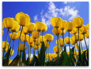 yellow-tulips-sky-edited
