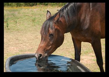 horse-drinking-375